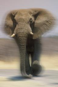 Elephants10.