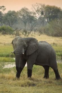 Elephants6.