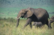 Elephants7.