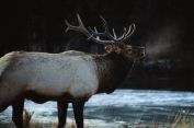 Elk2.
