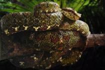 Eyelash Palm Viper Snake.
