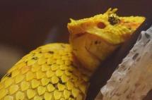 Eyelash Viper Snake.