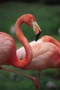 Flamingos4