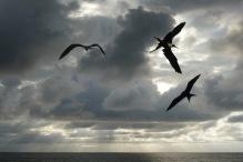 Frigat Bird.