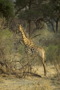 Giraffes1.
