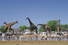 Giraffes2.