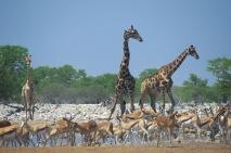 Giraffes3.
