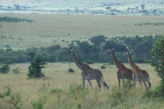 Giraffes4.
