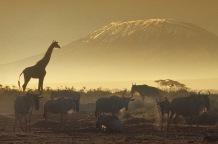 Giraffes5.