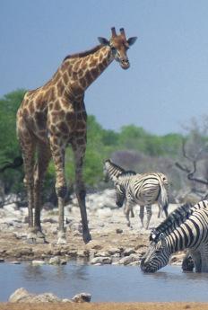 Giraffes6.