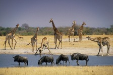 Giraffes7.