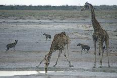 Giraffes8.