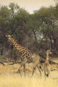 Giraffes9.