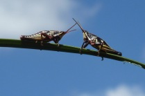 GrassHoppers.