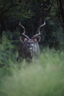 Greater Kudu.