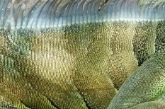 Green Iguana2.