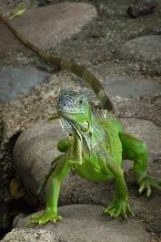 Green Iguana3.