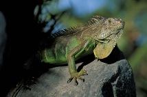 Green Iguana4.