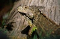 Green Iguana5.