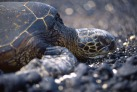 Green Sea Turtle2.