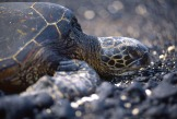 Green Sea Turtle2.
