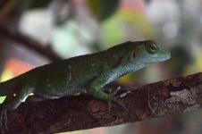 Green Tree Lizard.