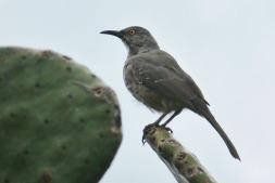 Grey Bird.