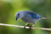 GreyBlueBird