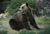 Grizzly Bear2.