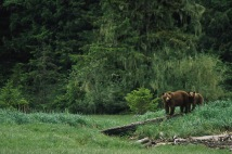 Grizzly Bears.