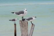 Gulls.