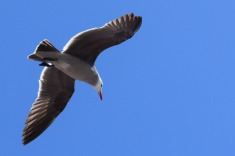 Gulls1.