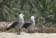 Gulls4.