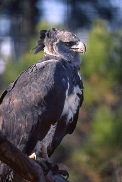 Harpy Eagle.