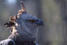 Harpy Eagle2.