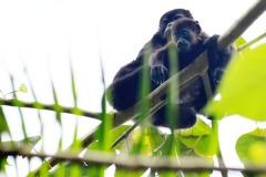 Howler Monkeys2.