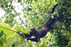 Howler Monkeys3.