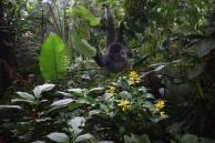 Howler Monkeys4.