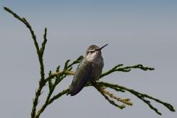 HummingBird1.