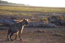 Hyena2.