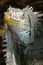 Iguana2.