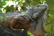 Iguana3.