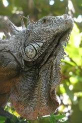 Iguana4.