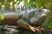 Iguana5.