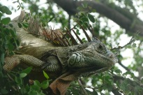 Iguana6.