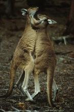 Kangaroos2.