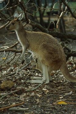 Kangaroos3.