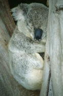 Koala Bear2.
