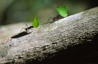 Leaf Cutter Ants.