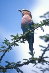 Lilac Breasted Roller2